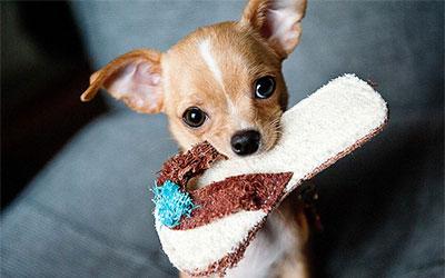 Forumaš iznad u liku životinje - Page 7 _sp-civava-najmanji-pas-na-svetu